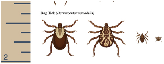 Dog Tick size comparison